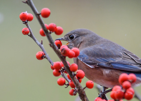"""<div class=""""jaDesc""""> <h4> Female Bluebird Grabs Winterberry - November 22, 2017</h4> <p>Normally the birds do not eat the winterberries this time of year, but wait till spring.  However, this gal grabbed one and flew off to a pasture fence wire to eat it.</p> </div>"""