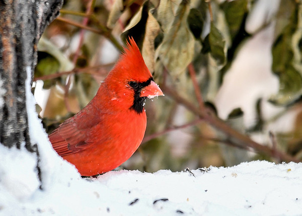 """<div class=""""jaDesc""""> <h4>Male Cardinal with Snow on Beak - December 14, 2017</h4> <p>The male Cardinal gets lots of snow stuck to his beak as he probes for seeds in the snow.</p> </div>"""
