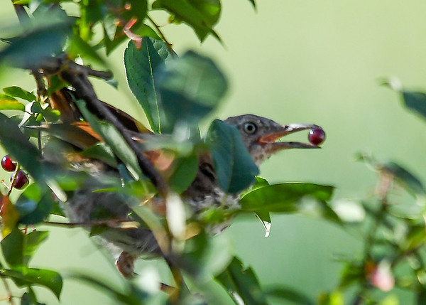 "<div class=""jaDesc""> <h4> Juvenile Thrasher Ready to Swallow Cherry - July 24, 2017 </h4> <p>A fraction of a second after this shot, the cherry disappeared down his throat.</p></div>"