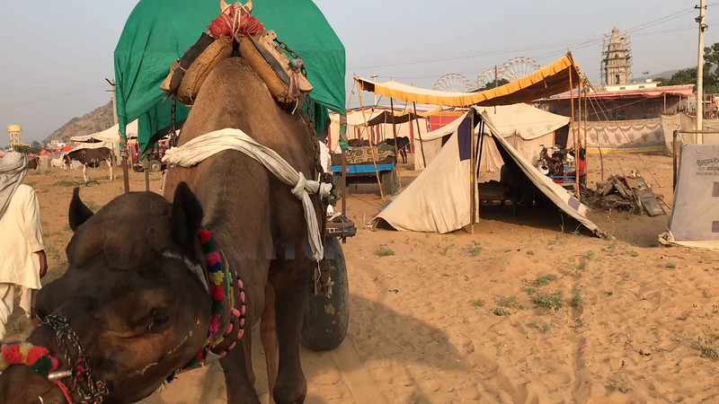 Camel cart around Pushkar