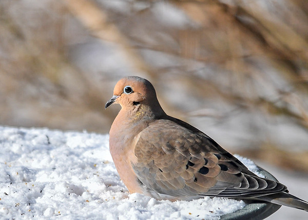 """<div class=""""jaDesc""""> <h4> Mourning Dove Keeping Legs Warm - December 13, 2017 </h4> <p>The current arctic blast has brought sub-zero wind chill.  This is one of our 16  Mourning Doves.  She is using the frozen bird bath covered in snow to keep her legs and feet warm.</p> </div>"""