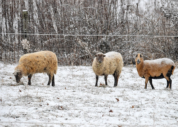 """<div class=""""jaDesc""""> <h4> Ewes Grazing in Snowy Pasture - December 30, 2017</h4> <p>Here are 3 of the 6 Ewes that were grazing in a pasture across the road from the Susquehanna River near Lounsberry, NY.</p> </div>"""