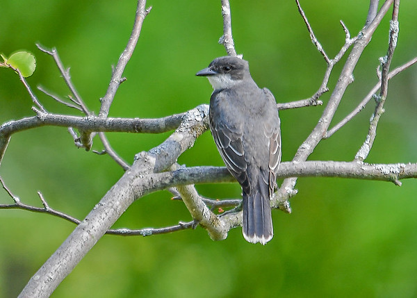 """<div class=""""jaDesc""""> <h4>Kingbird  in Backyard - June 13, 2017</h4> <p>We rarely have Kingbirds come into our yard , but this year a pair are hanging out in the trees around our water garden and on the horse pasture fence wires.  This is the female Kingbird who is in the process of building a nest in a red pine tree by our upper pasture.</p> </div>"""
