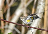 "<div class=""jaDesc""> <h4> Yellow-rumped Warbler Adjusting Balance - November 8, 2018</h4> <p> </p> </div>"