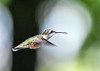 "<div class=""jaDesc""> <h4>Female Hummingbird Hovering Wings Forward - September 8, 2018 </h4> <p></p> </div>"