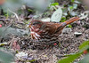 """<div class=""""jaDesc""""> <h4>Fox Sparrow Finds Safflower Seed - October 25, 2018</h4> <p>His diligence paid off as he found a Safflower seed, a favorite.</p></div>"""