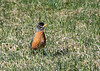 "<div class=""jaDesc""> <h4>Robin Looking for Worms - April 24, 2018</h4> <p>We have about 12 Robins starting to pair off.  The males are chasing the females at high speed all over the place.  This one was taking a break to have breakfast.  They hop through the grass, turn their head to listen for the worms, then pluck them out of the ground.</p> </div>"