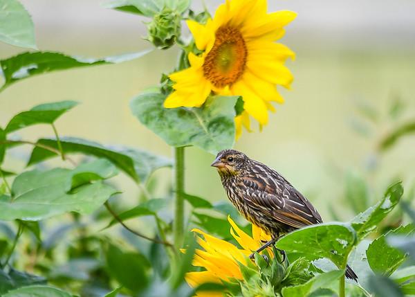 "<div class=""jaDesc""> <h4>Female Red-winged Blackbird on Sunflower Perch - August 7, 2017</h4> <p>This female Red-winged Blackbird was waiting her turn at the birdbath. </p></div>"