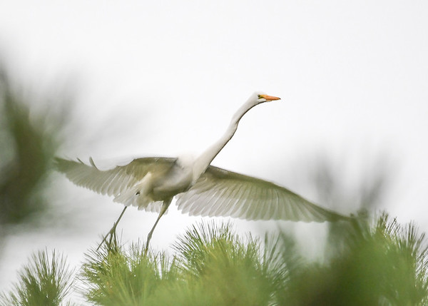 """<div class=""""jaDesc""""> <h4>Great Egret Wings Level for Lift Off - October 23, 2017</h4> <p></p></div>"""