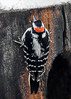 "<div class=""jaDesc""> <h4>Male Hairy Woodpecker Hiding from Hawk - Feb 18, 2018</h4> <p>A sharp-shinned Hawk made a run at the feeder area.  This male Hairy Woodpecker hid on the backside of the suet log.  He did not move for about 3 minutes till the Blue Jays stopped their alarm calls.</p></div>"