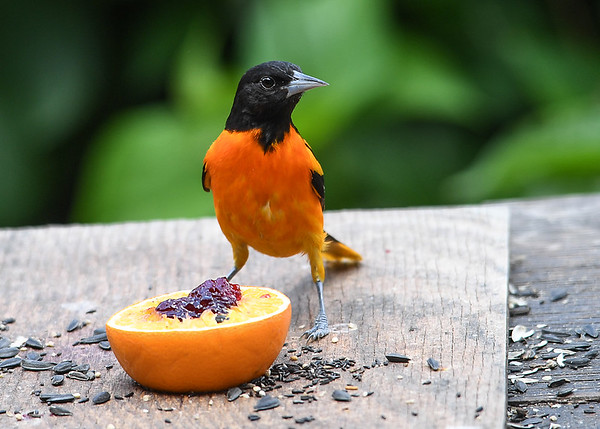 """<div class=""""jaDesc""""> <h4>Baltimore Oriole Ready to Snack - July 5, 2017</h4> <p>Dad Baltimore Oriole is getting his grape jelly and orange before the juveniles show up and start begging to be fed.</p> </div>"""