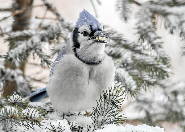 <h4>Blue Jay  with Two Peanuts - January 29, 2019</h4> <p></p>