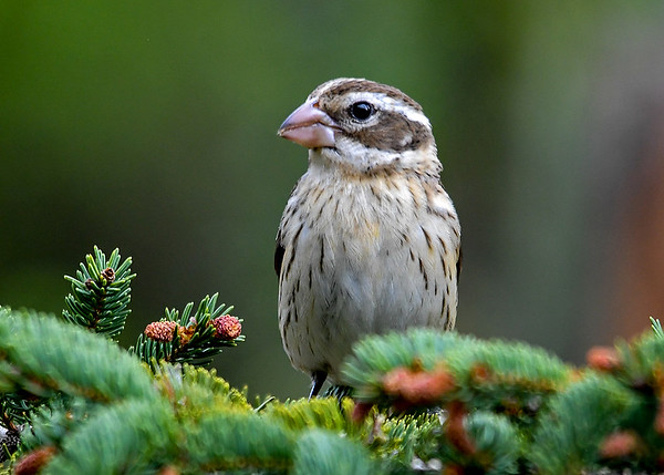 """<div class=""""jaDesc""""> <h4>Female Rose-Breasted Grosbeak Posing - May 4, 2017</h4> <p>Two female Rose-breasted Grosbeaks arrived yesterday.  We now have 2 pairs adorning our yard.  This gal wanted her picture taken.</p> </div>"""