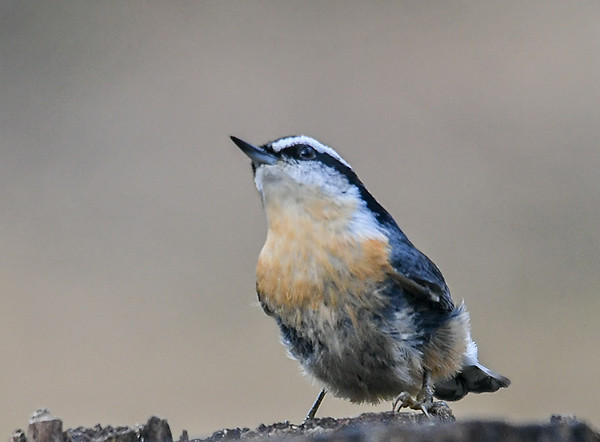 """<div class=""""jaDesc""""> <h4>Red-breasted Nuthatch Looking Up - October 21, 2018</h4> <p>The birds are always scanning their surroundings to avoid any predators.</p> </div>"""