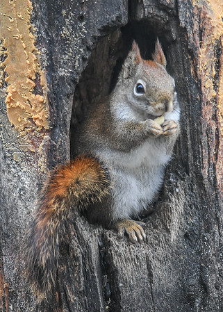 """<div class=""""jaDesc""""> <h4>Red Squirrel with Tail on Display - January 7, 2019 </h4> </div>"""