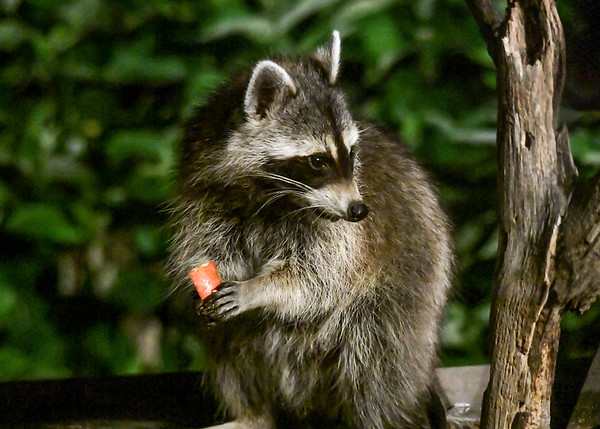 """<div class=""""jaDesc""""> <h4>Raccoon Picks Up Apple Piece - July 12, 2017</h4> <p>The menu tonight was apples chunks, garlic cheese curds, corn kernels and black-oiled sunflower seeds.  She ate the cheese curds first and is now working on the apple chunks.</p> </div>"""