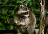 "<div class=""jaDesc""> <h4>Raccoon Picks Up Apple Piece - July 12, 2017</h4> <p>The menu tonight was apples chunks, garlic cheese curds, corn kernels and black-oiled sunflower seeds.  She ate the cheese curds first and is now working on the apple chunks.</p> </div>"