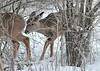 "<div class=""jaDesc""> <h4> White-tailed Yearlings Looking for Something to Eat - November 23, 2018</h4> <p>The two Yearlings with their mom were inspecting under our viburnum bush for fallen leaves, having seen mom doing that. </p> </div>"