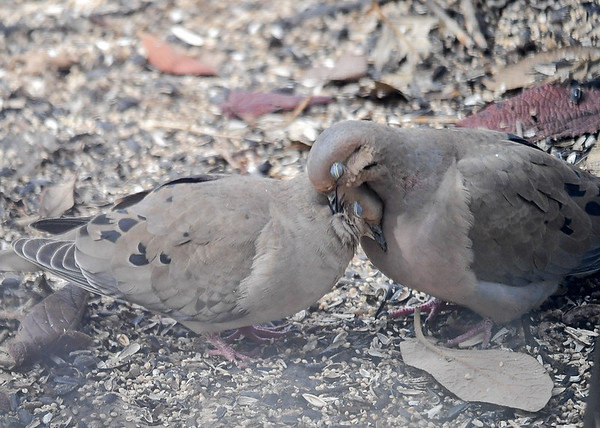 """<div class=""""jaDesc""""> <h4> Mourning Doves in Love #3 - March 29, 2018 </h4> <p>Snuggling.  Doves mate for life.  This may be a pair that have been together for a while.</p> </div>"""