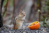 "<div class=""jaDesc""> <h4>Chipmunk with Paws Folded - May 5, 2018 </h4> <p>Chipmunk getting ready to eat lunch.</p> </div>"