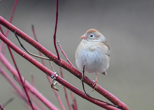 """<div class=""""jaDesc""""> <h4>Female Field Sparrow Fluffed - April 11, 2018</h4> <p> I was a nice surprise to see a pair of Field Sparrows arrive.  This is the female that is slightly lighter in coloring than the male.  We have not had them for several years.</p> </div>"""