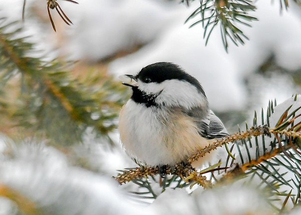 """<div class=""""jaDesc""""> <h4>Chickadee with Safflower Seed - January 7, 2020</h4> <p>He is proudly displaying the safflower seed he found.</p> </div>"""