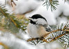 "<div class=""jaDesc""> <h4>Chickadee with Safflower Seed - January 7, 2020</h4> <p>He is proudly displaying the safflower seed he found.</p> </div>"