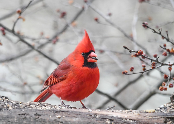 """<div class=""""jaDesc""""> <h4>Male Cardinal with Sunflower Seed - January 7, 2019</h4> <p>This is the adult male dad Cardinal. </p> </div>"""