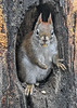 "<div class=""jaDesc""> <h4>Red Squirrel - Look No Paws - January 7, 2019</h4> <p></p>  </div>"