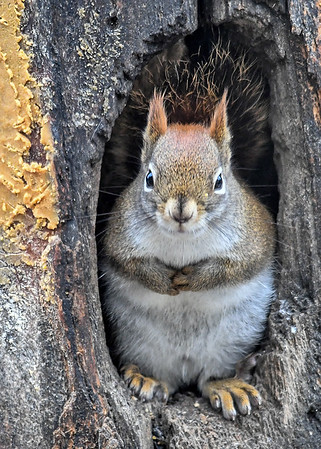 """<div class=""""jaDesc""""> <h4>Red Squirrel Ready for a Nap - January 7, 2019</h4> <p></p>  </div>"""