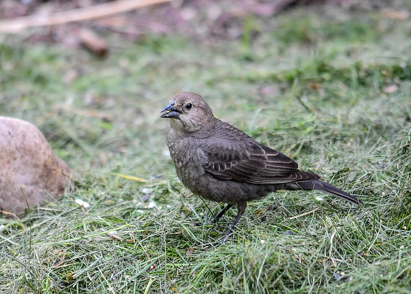 """<div class=""""jaDesc""""> <h4>Female Cowbird Ground Feeding - May 22, 2017</h4> <p> I toss white millet seed onto fresh grass clipping under my bushes.  The Cowbirds enjoy exploring for the seeds in the grass.</p> </div>"""