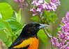 "<div class=""jaDesc""> <h4>Baltimore Oriole Close-up - May 27, 2017</h4> <p>This male and his mate have built their nest using the unraveled bailing twine strands I draped on our cherry tree.</p> </div>"