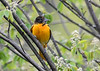 "<div class=""jaDesc""> <h4>Female Baltimore Oriole in Serviceberry Tree - May 11, 2018</h4> <p></p> </div>"