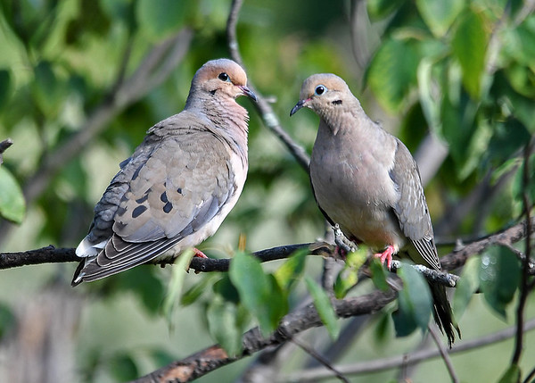 """<div class=""""jaDesc""""> <h4> Mourning Dove Pair - July 18, 2017 </h4> <p>It is unusual to get a pair facing each other, lucky day.  Male on left, female on right.</p> </div>"""