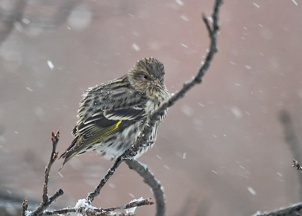 """<div class=""""jaDesc""""> <h4>Pine Siskin in Snow Storm - January 13, 2018</h4> <p>We had 12 Pine Siskins show up during the frigid snow storm.  This one was struggling to stay warm in the 20 MPH zero degree weather.</p> </div>"""