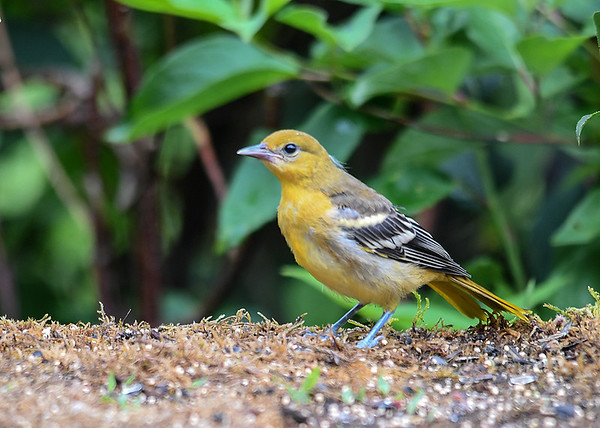 """<div class=""""jaDesc""""> <h4>Juvenile Baltimore Oriole Side View - June 28, 2018</h4> <p>The juveniles are yellow, not orange and have paler beaks.</p> </div>"""