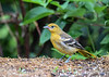 "<div class=""jaDesc""> <h4>Juvenile Baltimore Oriole Side View - June 28, 2018</h4> <p>The juveniles are yellow, not orange and have paler beaks.</p> </div>"