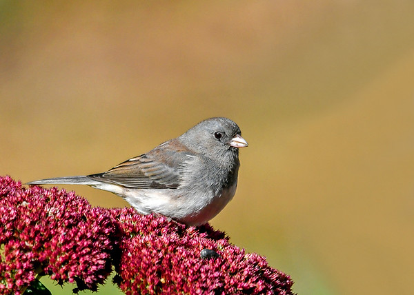 "<div class=""jaDesc""> <h4>Junco on Sedum #1 - Oct 21, 2018</h4> <p>The light was just right to capture the subtle coloring of the female Juncos.  As the weather has gotten colder, we now have about 20 Juncos that will be here until Spring.</p> </div>"