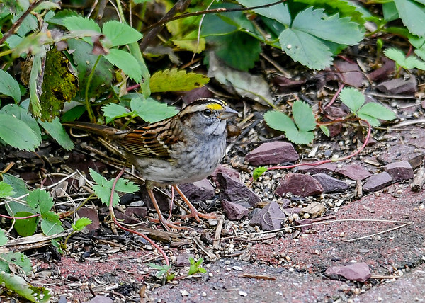 """<div class=""""jaDesc""""> <h4>White-throated Sparrow by Walkway - October 23, 2018 </h4> <p>I sprinkle white millet on our brick walkways for the ground feeding birds.</p></div>"""