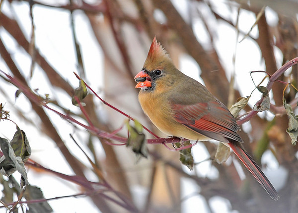 """<div class=""""jaDesc""""> <h4>Female Cardinal in Red-twig Dogwood Bush - December 14, 2017</h4> <p>Our female Cardinal had to joust with 3 Blue Jays to get this seed.  She then took cover in this red-twig dogwood bush where they would not bother her.</p> </div>"""
