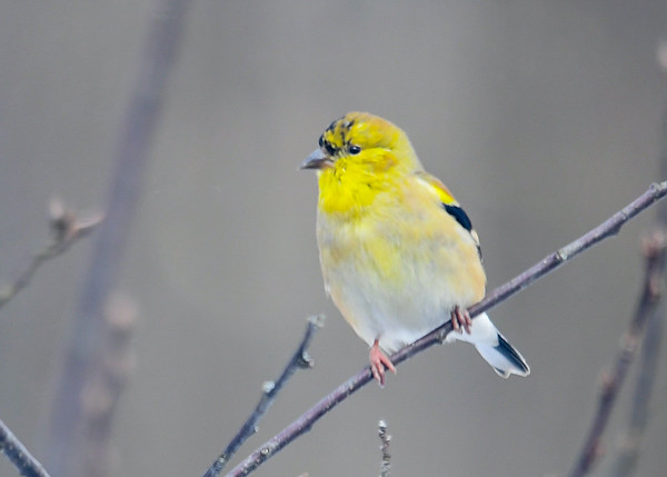 "<div class=""jaDesc""> <h4>Male Goldfinch Starting Breeding Plumage  - February 26, 2019</h4> <p>Goldfinches start their breeding plumage change in January.  This male is making good progress.</p></div>"