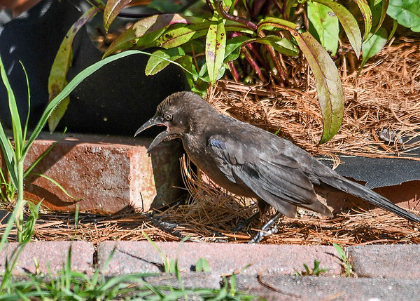 """<div class=""""jaDesc""""> <h4>Juvenile Grackle Discovers Feather - July 18, 2017</h4> <p>This juvenile Grackle was walking around ground feeding when he noticed a feather in front of him.  He squawked as if startled by the discovery.</p></div>"""