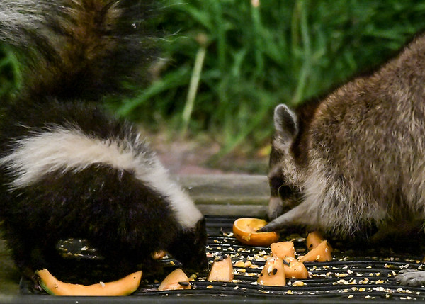 """<div class=""""jaDesc""""> <h4>Raccoon and Skunk Getting Closer - July 10, 2017</h4> <p>The Raccoon started slowly moving closer to the Skunk.  At first, the Skunk tolerated this situation.</p> </div>"""