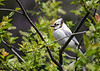 """<div class=""""jaDesc""""> <h4>Leucistic Blue Jay in Black Cherry Tree - May 22, 2017</h4> <p>This leucistic Blue Jay was migrating through.  She only stayed for 2 days.</p> </div>"""