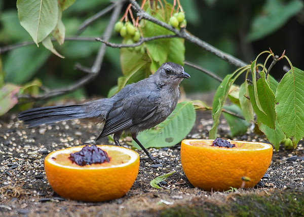 """<div class=""""jaDesc""""> <h4>Juvenile Catbird Eyeing Orange - August 19, 2018</h4> <p>Looking a bit puzzled by the choices.  This is all new.</p> </div>"""
