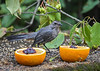"<div class=""jaDesc""> <h4>Juvenile Catbird Eyeing Orange - August 19, 2018</h4> <p>Looking a bit puzzled by the choices.  This is all new.</p> </div>"