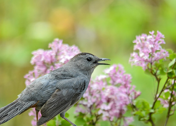 """<div class=""""jaDesc""""> <h4>Catbird in Lilac - May 29, 2017</h4> <p>Our male Catbird (hint of red under tail) perches in many of our bushes and tree to carry on long, complex conversations with me as I work in the yard.</p> </div>"""
