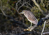"""<div class=""""jaDesc""""> <h4>Juvenile Black-crowned Night Heron on Perch #1 - November 9, 2016</h4> <p> A juvenile Black-crowned Night Heron was perched on a branch over a stream at the Chincoteague Wildlife Preserve in Northern VA.  He did not move at all during the first 5 minutes I watched him.  They normally roost during the day and feed at night on fish and rodents.  The adults are white with a black cap and back and red eye - totally different than this drab brown and white with orange eye.</p> </div>"""