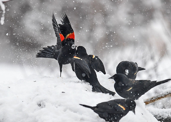 """<div class=""""jaDesc""""> <h4>Red-winged Blackbirds - Stand-off Continues - March 2, 2018</h4> <p>Both landed back in the snow and continued to stand their ground for feeder territory.  They engage in this kind of behavior every year just before mate selection starts.</p></div>"""