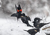 "<div class=""jaDesc""> <h4>Red-winged Blackbirds - Stand-off Continues - March 2, 2018</h4> <p>Both landed back in the snow and continued to stand their ground for feeder territory.  They engage in this kind of behavior every year just before mate selection starts.</p></div>"